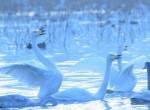 白鳥渡来地瓢湖イメージ